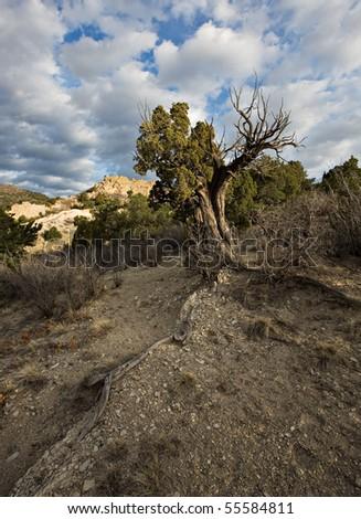 Water seeking tree in Colorado Springs' Garden of the Gods. - stock photo