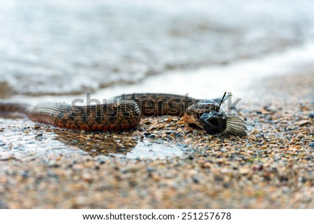 Water snake with the entrapment of fish on the shore of the pond