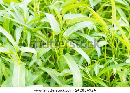 Water spinach in the garden, Thailand. - stock photo