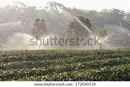 water sprinkler in tea field on the morning - stock photo