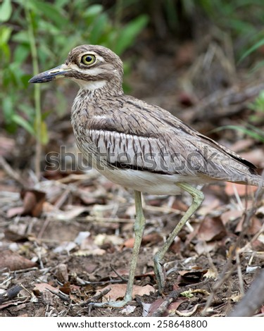 Water Thick Knee - stock photo