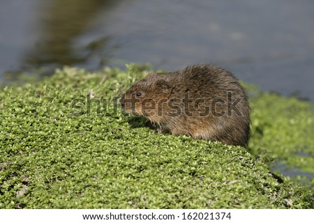 Water vole,  Arvicola terrestris, on bank, Debyshire,