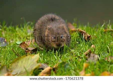 Water Vole on river bank in Sussex, England - stock photo