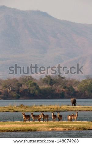 Waterbuck by the Zambezi river - stock photo