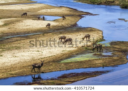 Waterbuck in Kruger national park, South Africa ; Specie Kobus ellipsiprymnus family of bovidae - stock photo