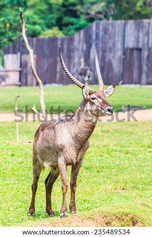 Waterbuck, Male. Africa, Thompson gazelle (FILM SCAN)  - stock photo