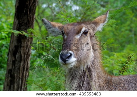 Waterbuck portrait.