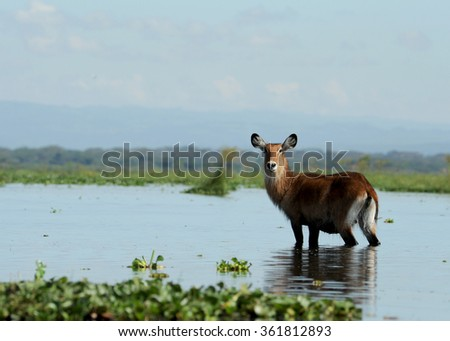 Waterbuck Standing in Water Kenya East Africa