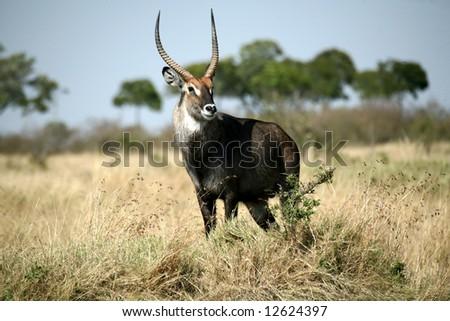 Waterbuck standing on a grass hill (Masai Mara; Kenya) - stock photo