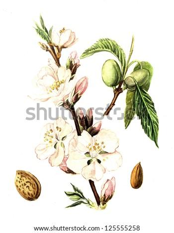 watercolor Almonds - stock photo