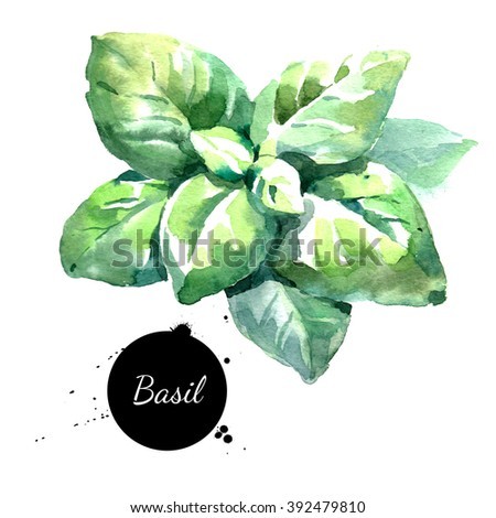 Watercolor basil leaves Isolated eco food illustration on white background - stock photo