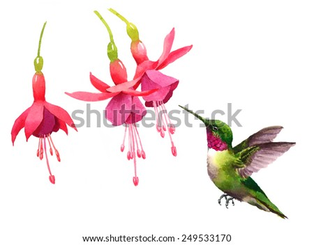 Watercolor Bird Hummingbird Flying Near the Fuchsia Flowers Hand Painted Illustration isolated on white background