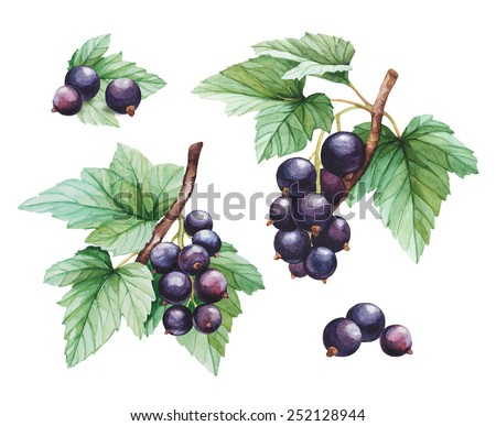 Watercolor black currants illustrations - stock photo