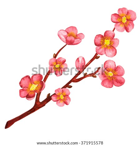 Watercolor branch blossom sakura, cherry tree with pink flowers isolated on white background. Hand painting on paper, art design element - stock photo