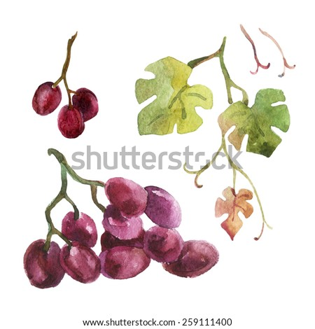 Watercolor branch of grapes with leaves. Hand painted illustration - stock photo