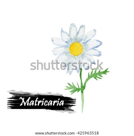 Watercolor chamomile flower isolated on white background. Matricaria is a genus of flowering plants in the Chamomile tribe within the sunflower family. Herbs and spicies series. Lepidotheca - stock photo