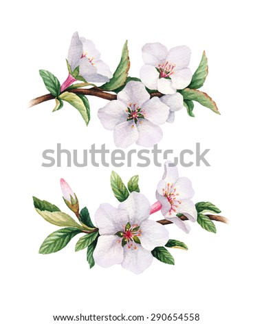 Watercolor cherry flower illustrations - stock photo