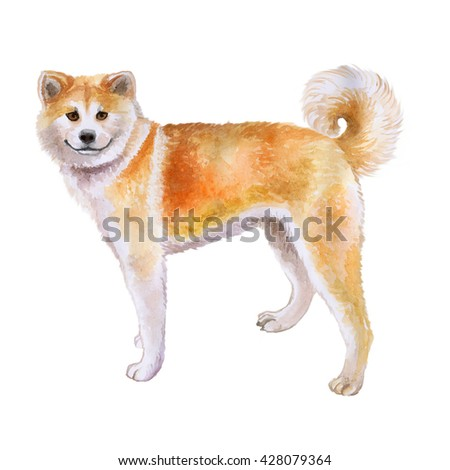 Watercolor closeup portrait of red Japanese Akita dog isolated on white background. funny dog smiling. Hand drawn sweet home pet. Popular large breed dog. Greeting card design. Clip art illustration
