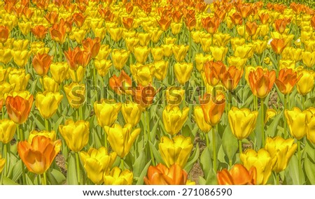 Watercolor digital painting of yellow,orange field of tulips - stock photo