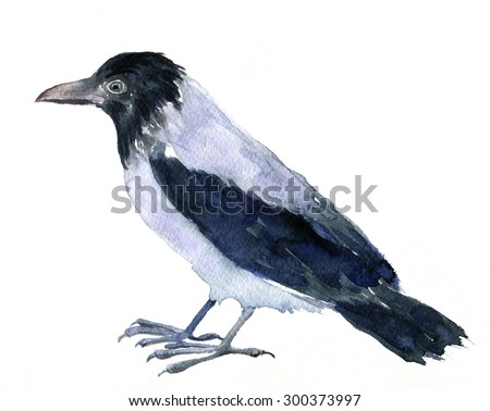 watercolor drawing bird, crow painted by aquarelle at white background, hand drawn  illustration