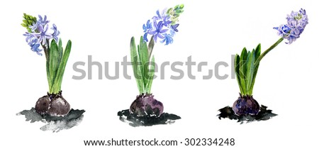 watercolor drawing flowers, blue hyacinth,hand drawn artistic painting  illustration - stock photo