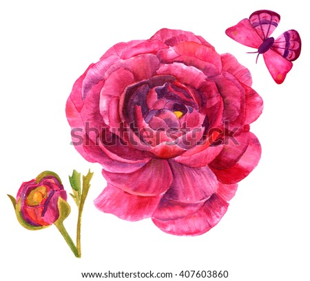 Watercolor drawings of ranunculus flowers and butterflies, hand painted on white in the style of vintage botanical art - stock photo