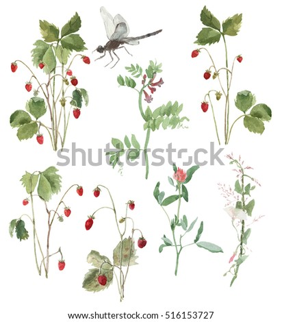 Watercolor field bindweed, clover, strawberry, vetch, dragonfly. Set of field plants.