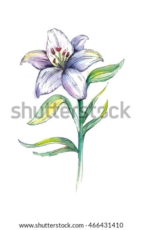 Watercolor flower a lily on a white background