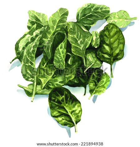 watercolor fresh leaves of spinach - stock photo