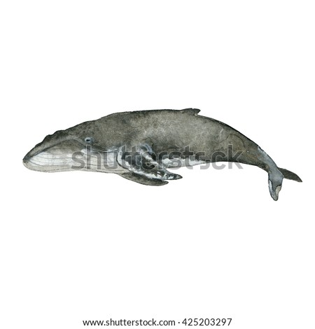 Watercolor grey Whale Painting. Hand painted realistic whale illustration isolated on white background. Realistic underwater animal art.