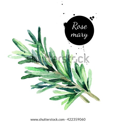 Watercolor hand drawn twig of rosemary. Isolated eco natural herbs illustration on white background - stock photo