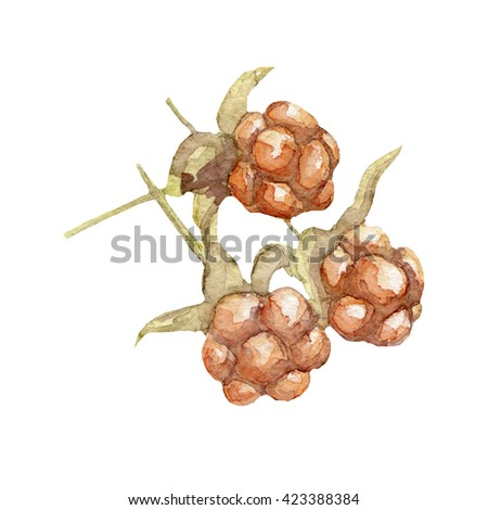 Watercolor illustration cloudberry isolated on white background - stock photo