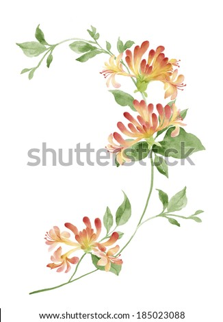 watercolor illustration Honeysuckle in simple background  - stock photo