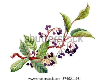 Watercolor illustration with branch, leaves and wild berries.