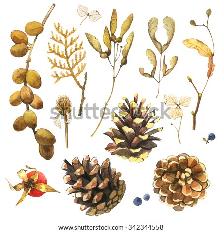 Watercolor illustration with branches, leaves and berries. Set of autumn branches of pine cones, branches of maple, ash and linden. Collection of herbarium of the woods. - stock photo