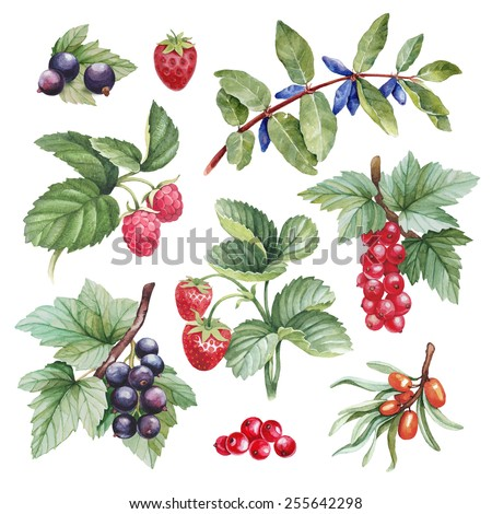 Watercolor illustrations of berries - stock photo