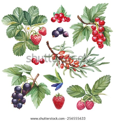 Watercolor illustrations of berries