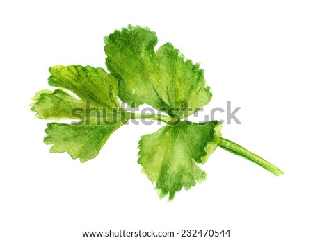 Watercolor image of leaf of coriander on white background - stock photo