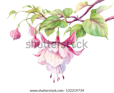 Watercolor Isolated object. Fuchsia flower on a white background. - stock photo