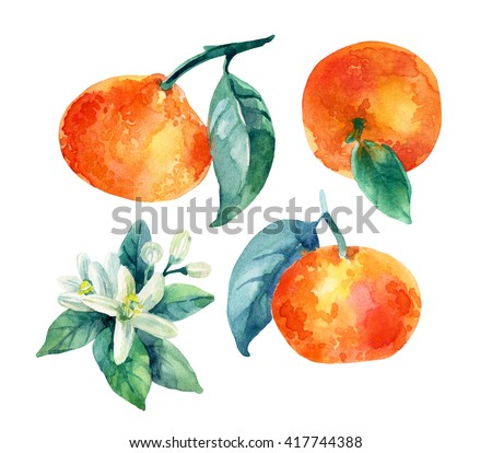 Watercolor mandarine orange fruit set with leaves and blossom isolated on white background. Orange citrus tree. Mandarin bloom. Tangerine with leaves, branch, flower. Hand painted illustration - stock photo