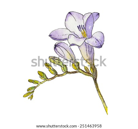 Watercolor of freesia flower on white background.