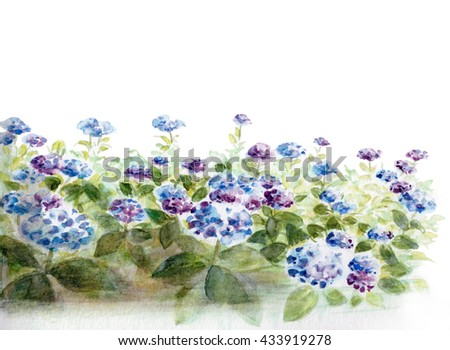 Watercolor of Hydrangeas on a white back ground. Flower painting.