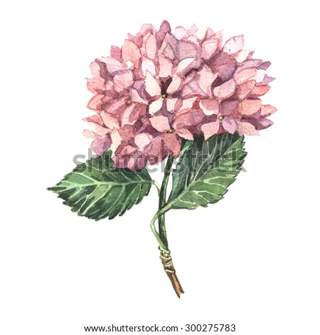 Watercolor of pink hydrangeas. Hand watercolor painting. Illustration for greeting cards, invitations, and other printing projects.