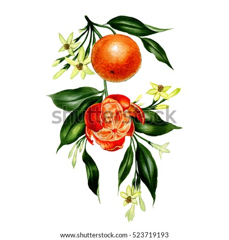 Watercolor Orange Illustration Of Tree Branch Botanical Art Style