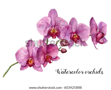 Watercolor orchids. Hand painted floral botanical illustration isolated on white background. For design or print