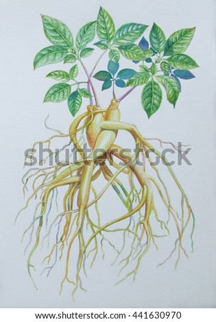 Watercolor painting original realistic herb of Ginseng and green leaves in white background. Original painting