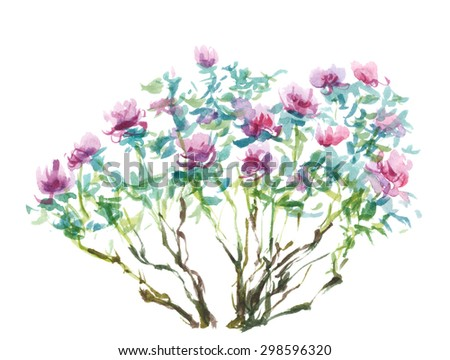 Watercolor painting, tree peonies on white - stock photo