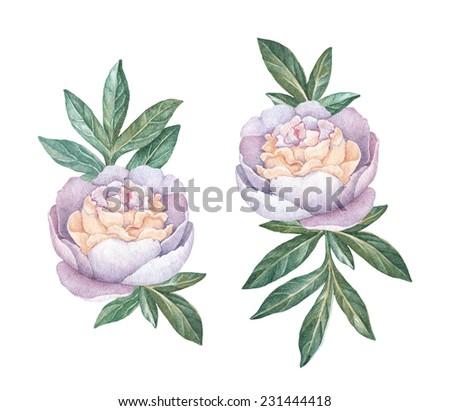 Watercolor peony flowers - stock photo