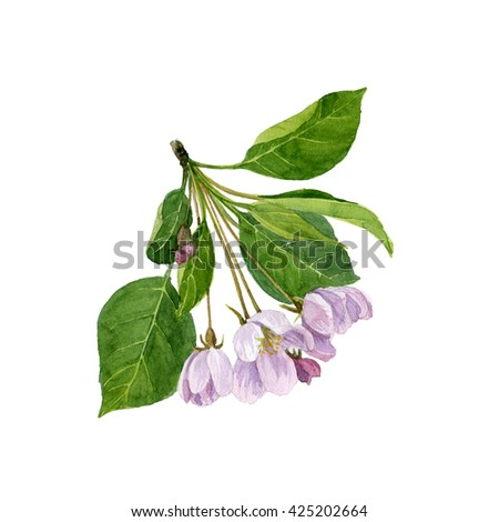watercolor pink apple tree flowers,  tree blossoms, buds and leaves, hand drawn artistic illustration