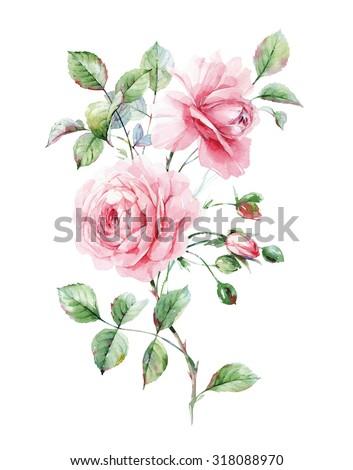 Watercolor pink English roses - stock photo
